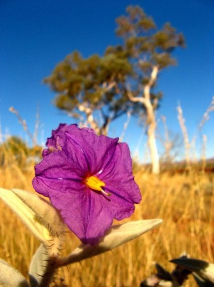 Flower inside Western Australia's Karijini NP (winter 2007).