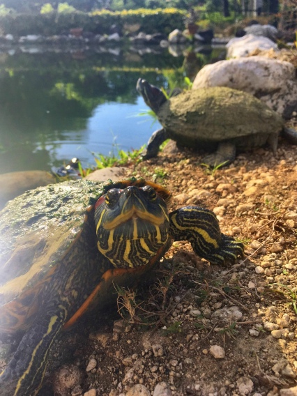 """Hello there!"" – turtles inside a city park in Ocho Rios."